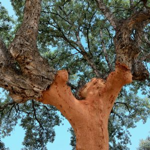 trunk of  cork  tree - quercus suber -  stripped of cork in southern Extremadura, Spain.